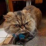 Après un passage chez le toiletteur, ce chat repart avec un look vraiment très particulier !
