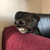 Lorsque cet ancien chien de course ouvre la bouche, personne ne peut se retenir de rire !