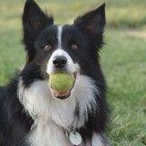 Top 8 des races de chiens les plus joueuses