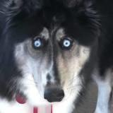 Quand ce Husky lève les yeux vers elle, elle est troublée et tombe d'amour devant ce chien