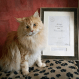 Ce Maine Coon a sauvé la vie de son maître et ses trois autres chats