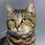 A Adopter : Kenzi, jolie minette tigrée et câline !