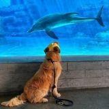 En se rendant à l'aquarium, ce chien Golden qui adore les animaux a fait la rencontre de sa vie ! (Vidéo)