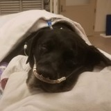 Une chienne Labrador gestante est abandonnée au refuge : l'échographie provoque une onde de choc