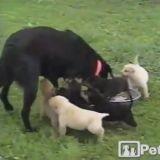 La maman chien et ses chiots affamés (Vidéo du jour)