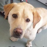 Ce Labrador n'a pas pu devenir chien-guide : en 9 ans, il a sauvé 100 vies en faisant quelque chose d'incroyable