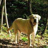 Un chien héros sauve son maître de l'attaque d'un ours