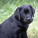 Les chiens noirs encore et toujours victimes de préjugés
