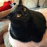 Ce chat obèse préfère faire le mort que faire du sport (Vidéo)
