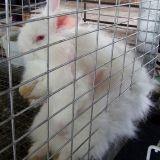 Lapin angora : H&M cesse temporairement sa production de fourrure