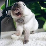 10 photos de petits lapins trop mignons qui baillent