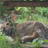 Le jackalope, le lapin légendaire, existe bel et bien