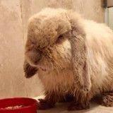 Ce lapin a les dents si longues qu'il ne pouvait pas manger