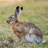 Un lapin géant meurt en soute pendant un vol