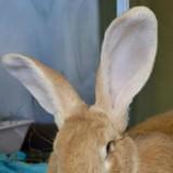 Un lapin arrive dans le refuge, personne n'en avait jamais d'aussi gros
