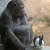 Un gorille se lie d'amitié avec un lapin