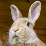Faut-il faire stériliser son lapin ?