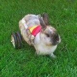 Aidé d'une charrette arc-en-ciel cet adorable lapin peut enfin marcher ! (Vidéo du jour)