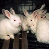Des activistes s'introduisent dans un laboratoire et libèrent une dizaine de lapin