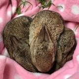 Elle sauve 3 bébés lapins et les dépose sur une couverture : quand elle revient, ce qu'elle découvre est magique