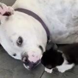 Le minuscule chaton s'approche de la gueule géante du chien, 32 000 personnes en ont le souffle coupé (vidéo)