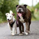 Un Staffordshire devient chien-guide pour son meilleur ami, un chien aveugle