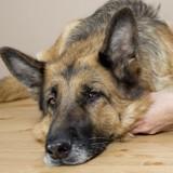 Leishmaniose du chien : protégez votre animal toute l'année