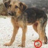 ALERTE : la leishmaniose menace 2,5 millions de chiens en Europe et plus d'un million en France !