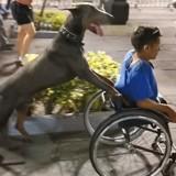 Ce chien pousse le fauteuil roulant de son maître lors d'un festival (Vidéo)