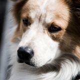 Les français aiment moins les chiens ?