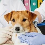 La leucémie du chien : causes, symptômes et traitements