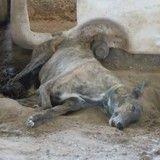 Plusieurs dizaines de chiens exploités pour leur sang