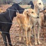 Une trentaine de Lévriers affamés, sauvés in extremis