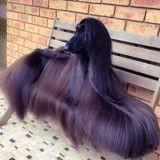Avec son long pelage brillant, cette chienne rend folle de jalousie toutes les femmes