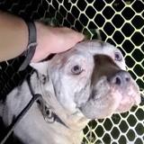 Le vétérinaire examine une chienne qui vient de mettre au monde ses chiots : l'échographie est un choc