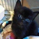 Quand un petit chaton noir se transforme en une magnifique panthère…