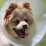 La liposuccion, une technique désormais pratiquée sur les chiens