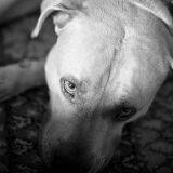 Loi « chiens dangereux » : derniers jours pour le permis