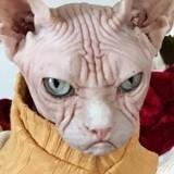 Qui est Loki, le chat grincheux qui pourrait bien énerver Grumpy Cat ?