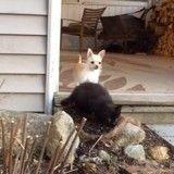 Quand un chihuahua fait de chatons ses meilleurs amis