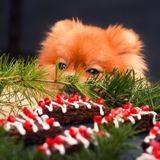 Pourquoi les chocolats de Noël sont-ils dangereux pour les chiens ?
