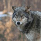 Chasse aux loups : les abattages autorisés sont en hausse !