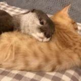 Cette loutre n'arrive pas à dormir sans faire de câlins à son chat (Vidéo)