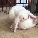 Ce lapin a des oreilles tellement géantes qu'il pourrait presque voler ! (Vidéo du jour)