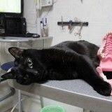 Lucifer, chat noir handicapé et nounou d'enfer pour animaux malades