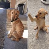 Deux soeurs condamnées pour avoir affamé leur chien, le Labrador Lucky