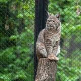 Le chat entre dans la cage du lynx au zoo : la réaction du gros chat a surpris tout le monde