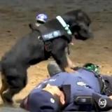Incroyable : ce chien réanime son maître policier en lui faisant un massage cardiaque ! (Vidéo)