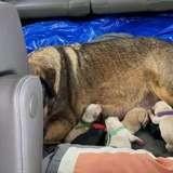 La chienne accouche pendant une tempête, ils restent 12h dans une voiture pour garder au chaud les petits (vidéo)