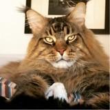 Maine Coon : tout savoir sur cette race de chat !